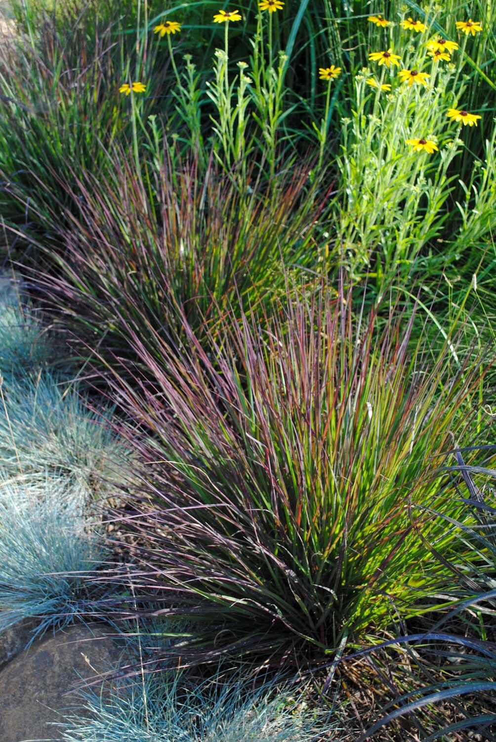 Andropogon 'Red October' tends to elongate a bit later than 'Blackhawks'.