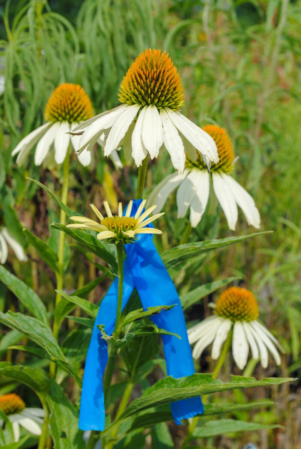Brent had a clever way of marking the plants where he intended to collect seed. He flagged them with blue tape.