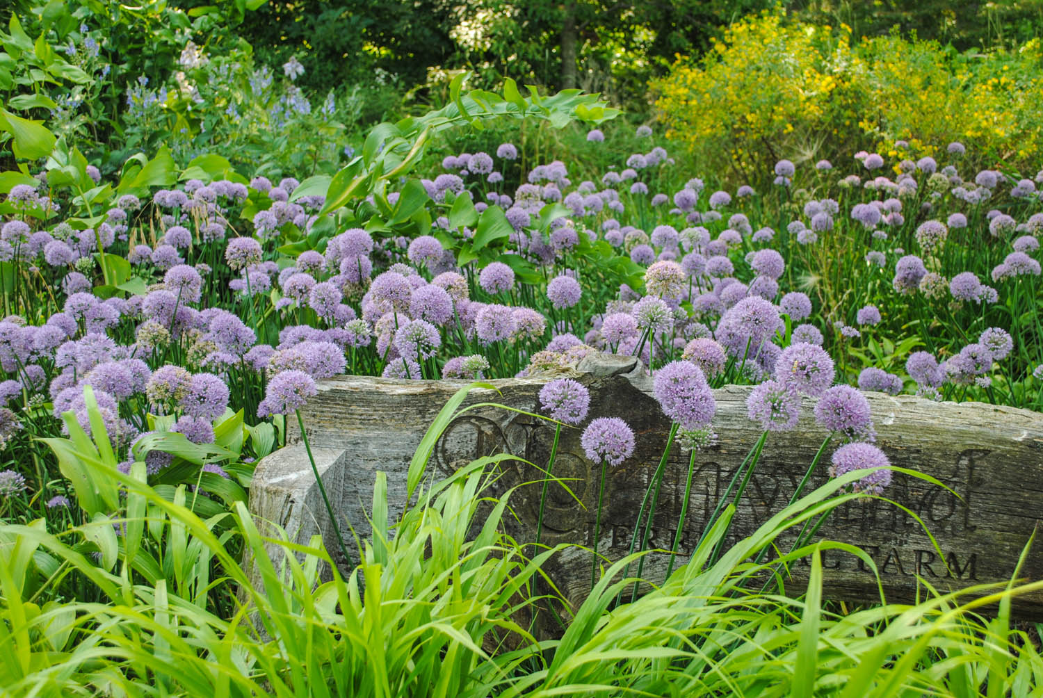A sea of delectable-looking  Alliums  hover by a bench.