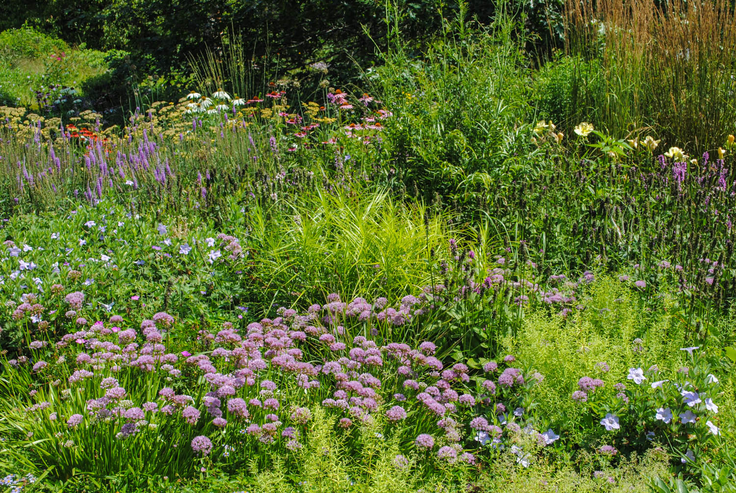 A vivid example of Roy's approach to planting perennials. Color erupts from the green matrix below.