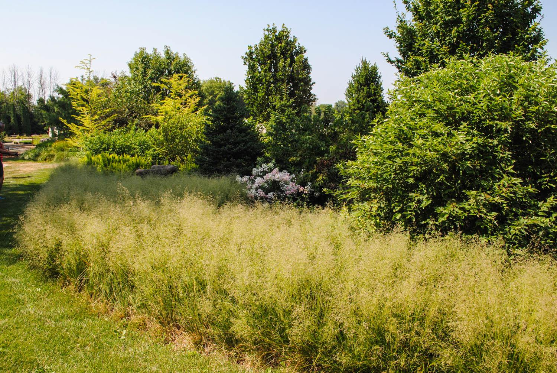 Ornamental grass  en masse