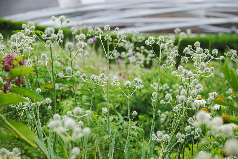 Rain-catching  Eryngium