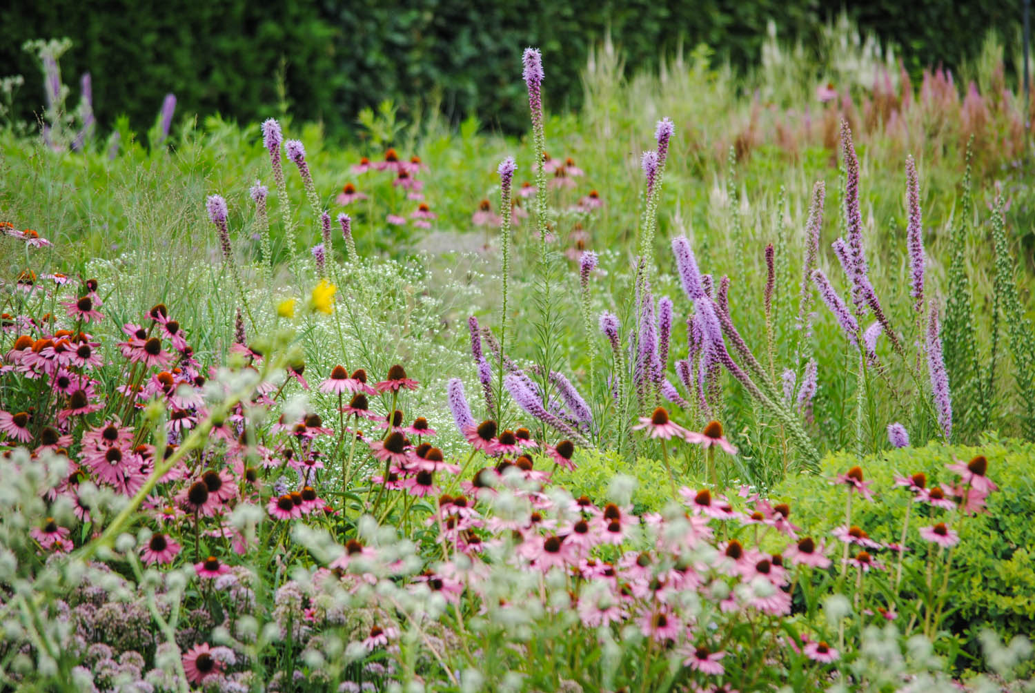 I didn't notice this design trick when I was there that day, but I do now. Look to the left and amongst the purple  Liatris pycnostachya . I spy  Liatris aspera  that haven't quite started blazing yet. When the  pycnostachya  finishes, the  aspera  can take the purple batons and continue the race of blooms.