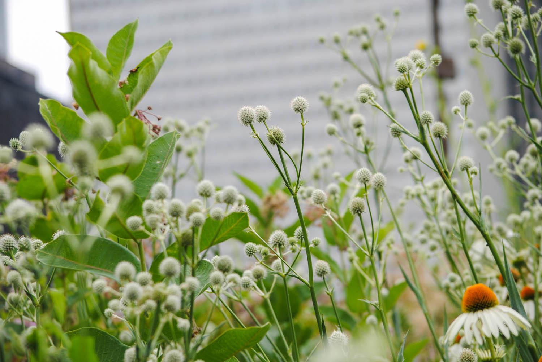 Eryngium  look a bit like antennae rising out of the prairie.
