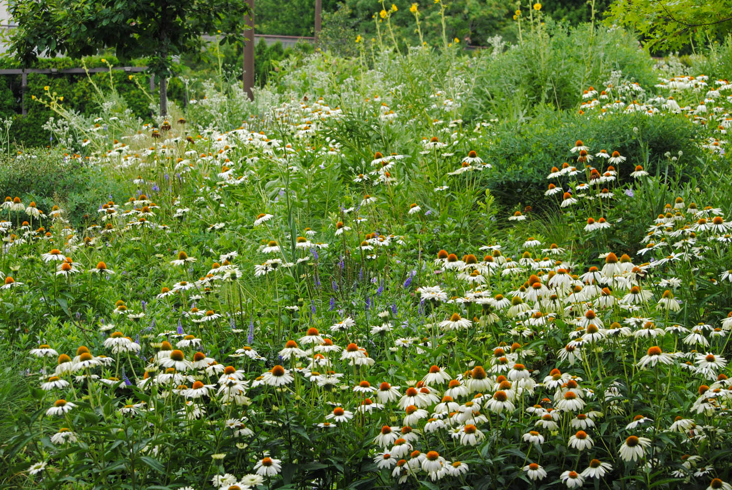 This section was much more intermingled, a matrix of grass into which perennials like  Echinacea  were plugged.