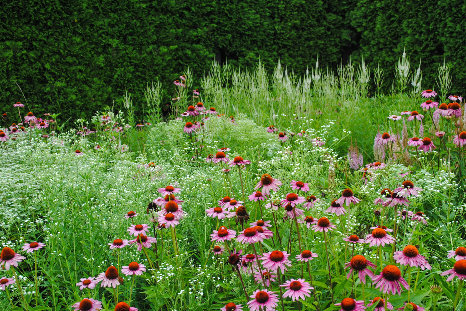The  Echinacea  provides such a good color accent with the white  Veronicastrum  and  Euphorbia .