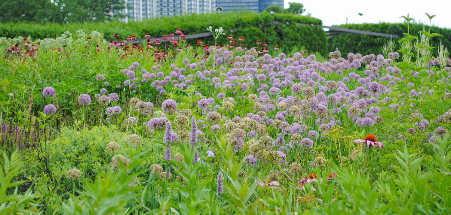 Other Allium were taller and tighter balls like you see here from what I believe are  Allium  'Millenium'.