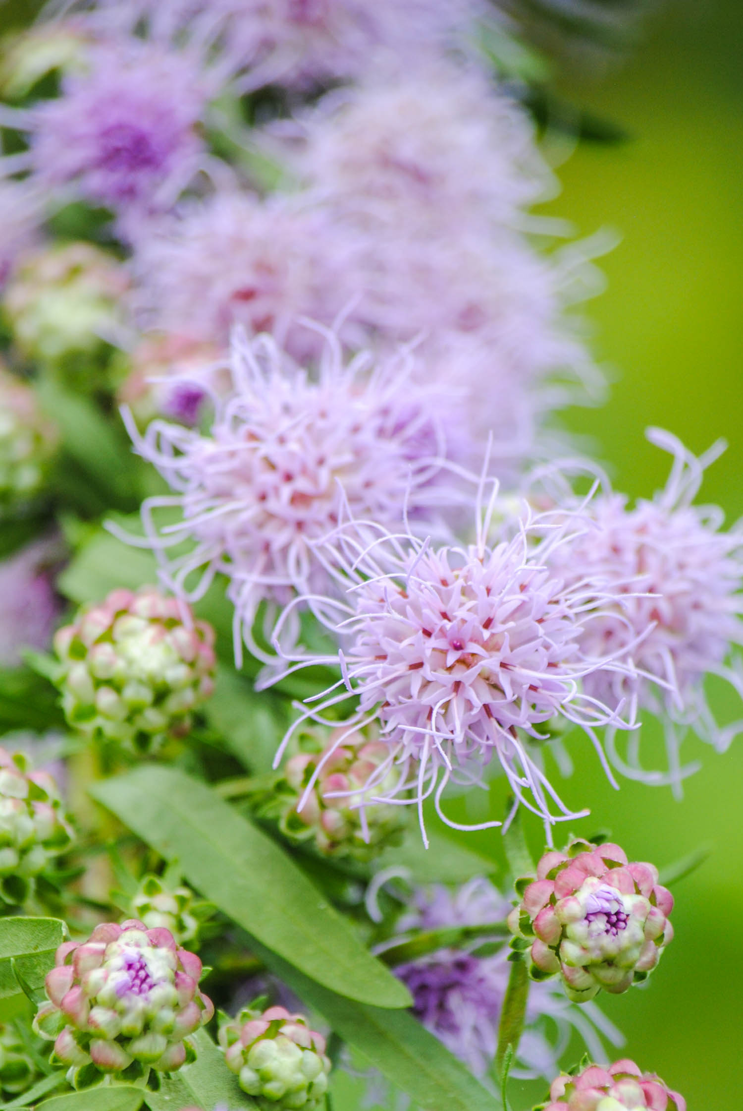 """Liatris aspera  with the bottom """"buttons"""" about to pop."""