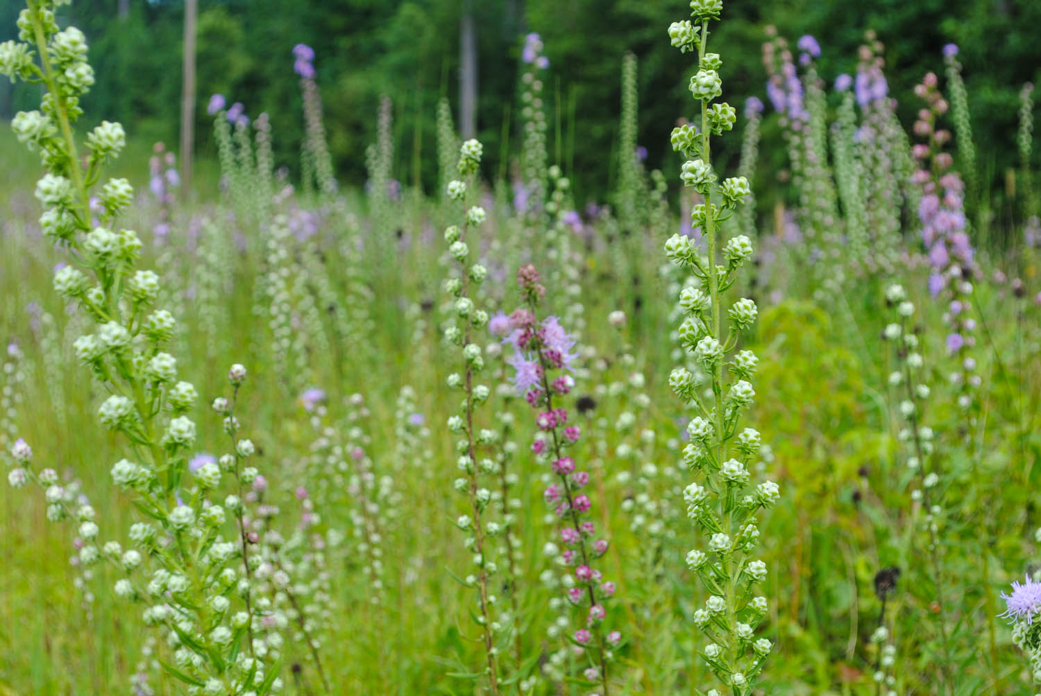 Even before  Liatris aspera  begins to flower, you have several weeks of these incredible buds to enjoy.