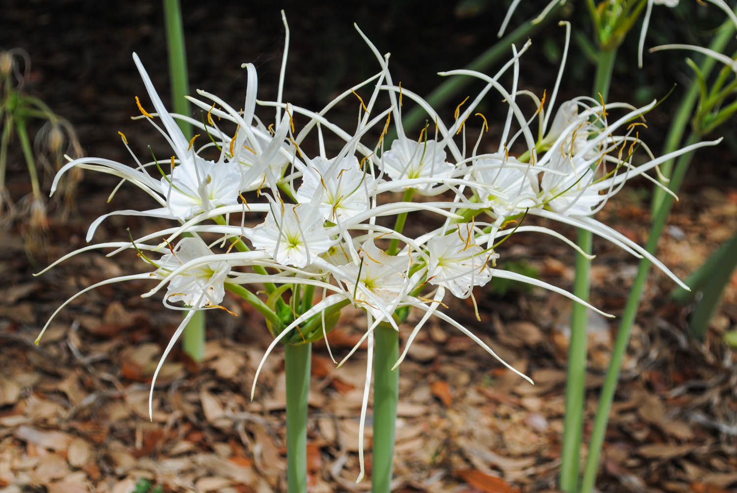 August flowering spider lilies like this  Hymenocallis galvestonensis  I saw at Peckerwood Garden a few years ago are a welcome sight in summer.
