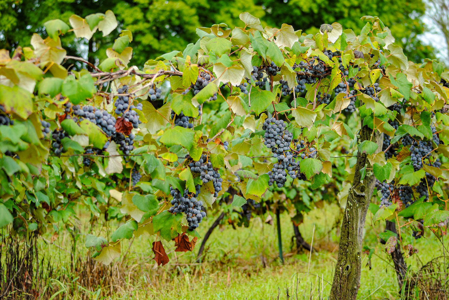 'Concord' grapes hang from the vine.