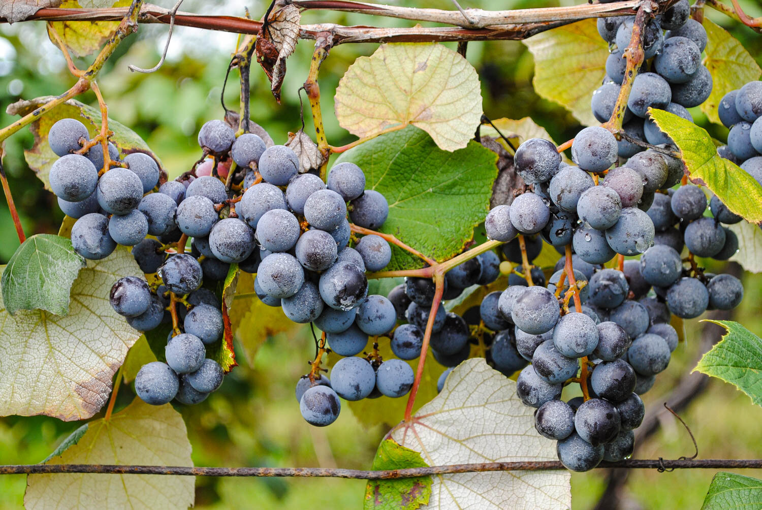 One of my favorite photos from the weekend. Don't these grapes look delicious?