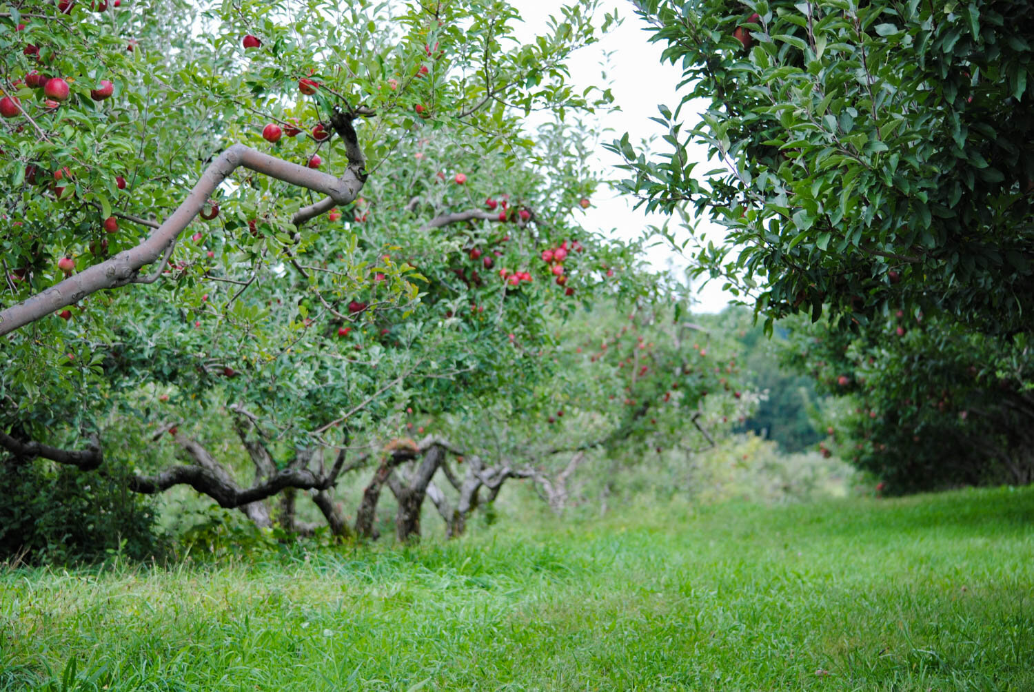 'Jonathan' apples in line and ready for harvest