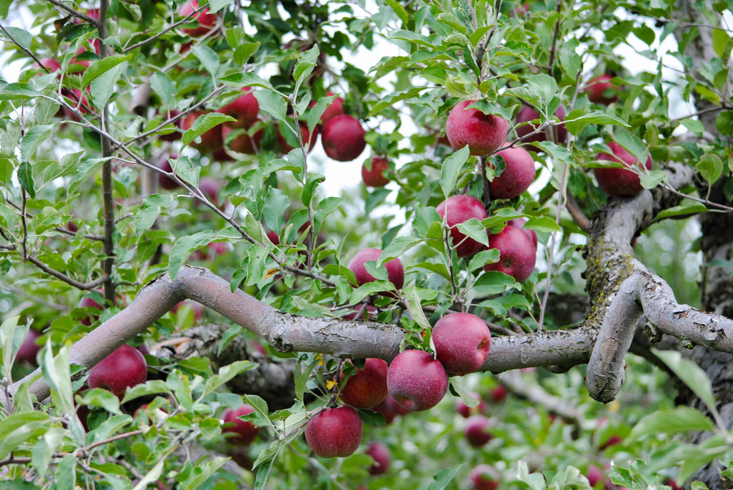 The crooked branches of 'Jonathan' apples