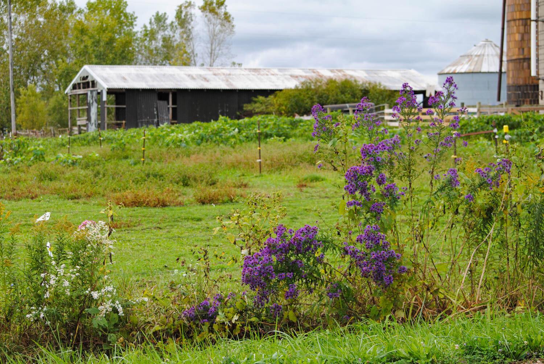 Symphyotrichum novae-angliae  hugs the fence line. Such a rich purple.