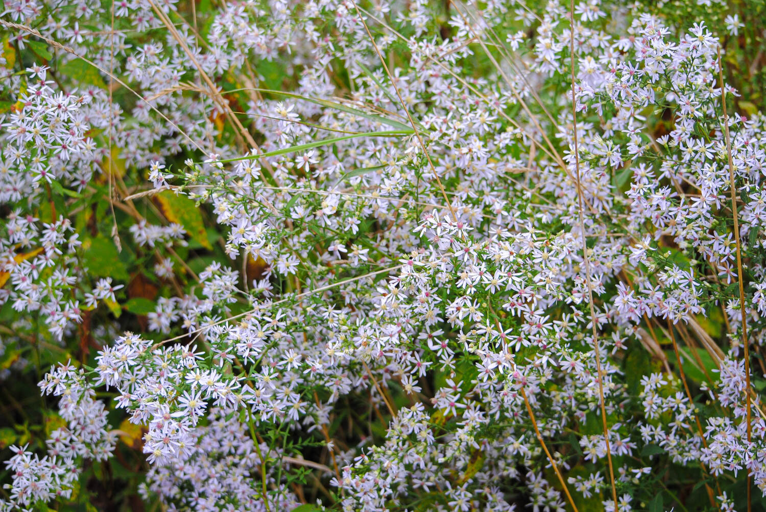 This darling aster looks to be  Symphyotrichum lateriflorum , but I could be wrong.