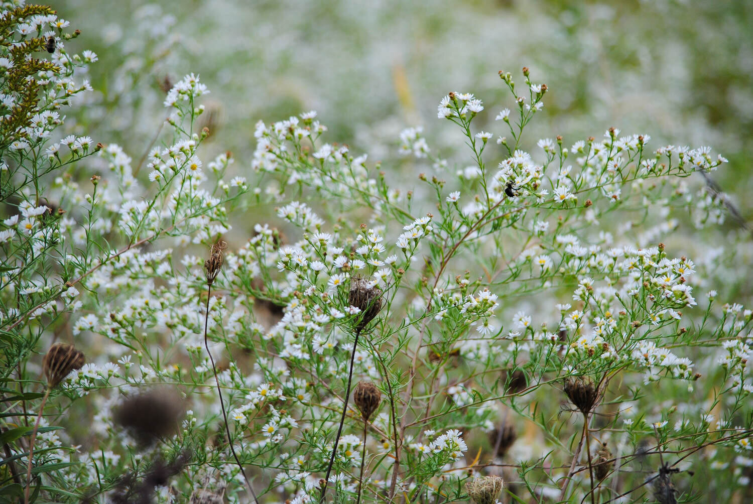 I believe this to be  Symphyotrichum pilosum  with some  Daucus  seedheads mixed in for good measure .  Notice the bees on a few flowers.