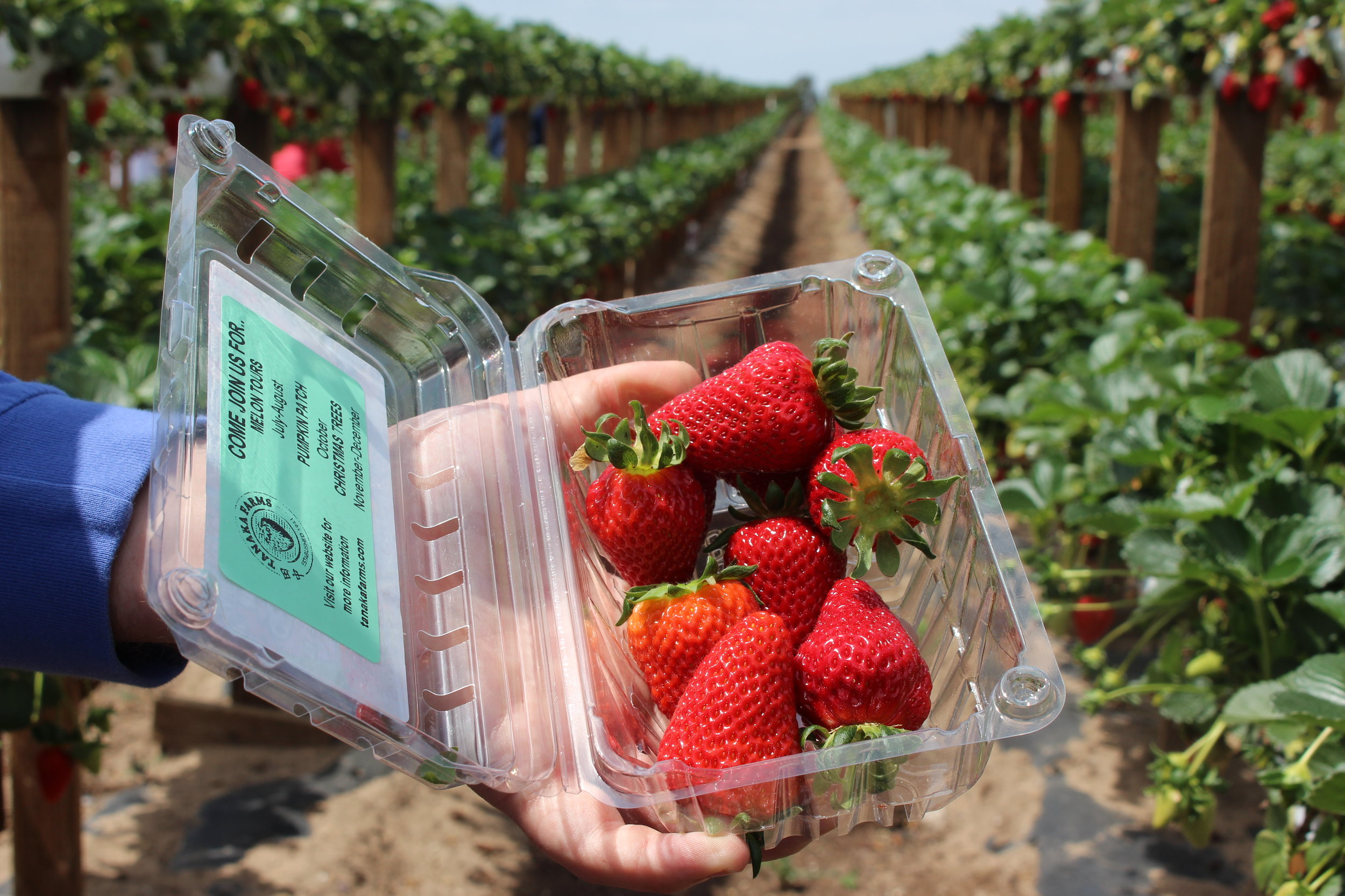 Tanaka Farms allows visitors to take home one pound of strawberries.