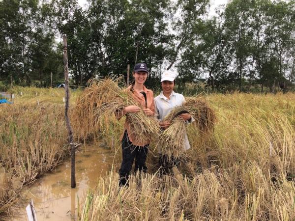 •   Harvesting rice with scythe at CARDI