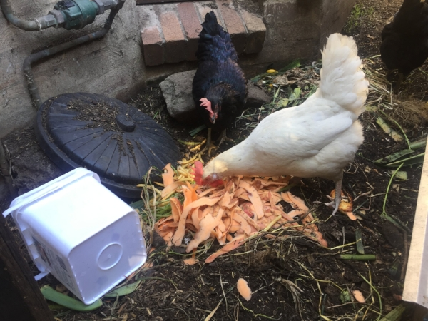 L to R: small container used to obtain cafe scraps; scraps on ground; Feisty, Blanche d'Alpuget, Nellie, all in the chook run outside the kitchen