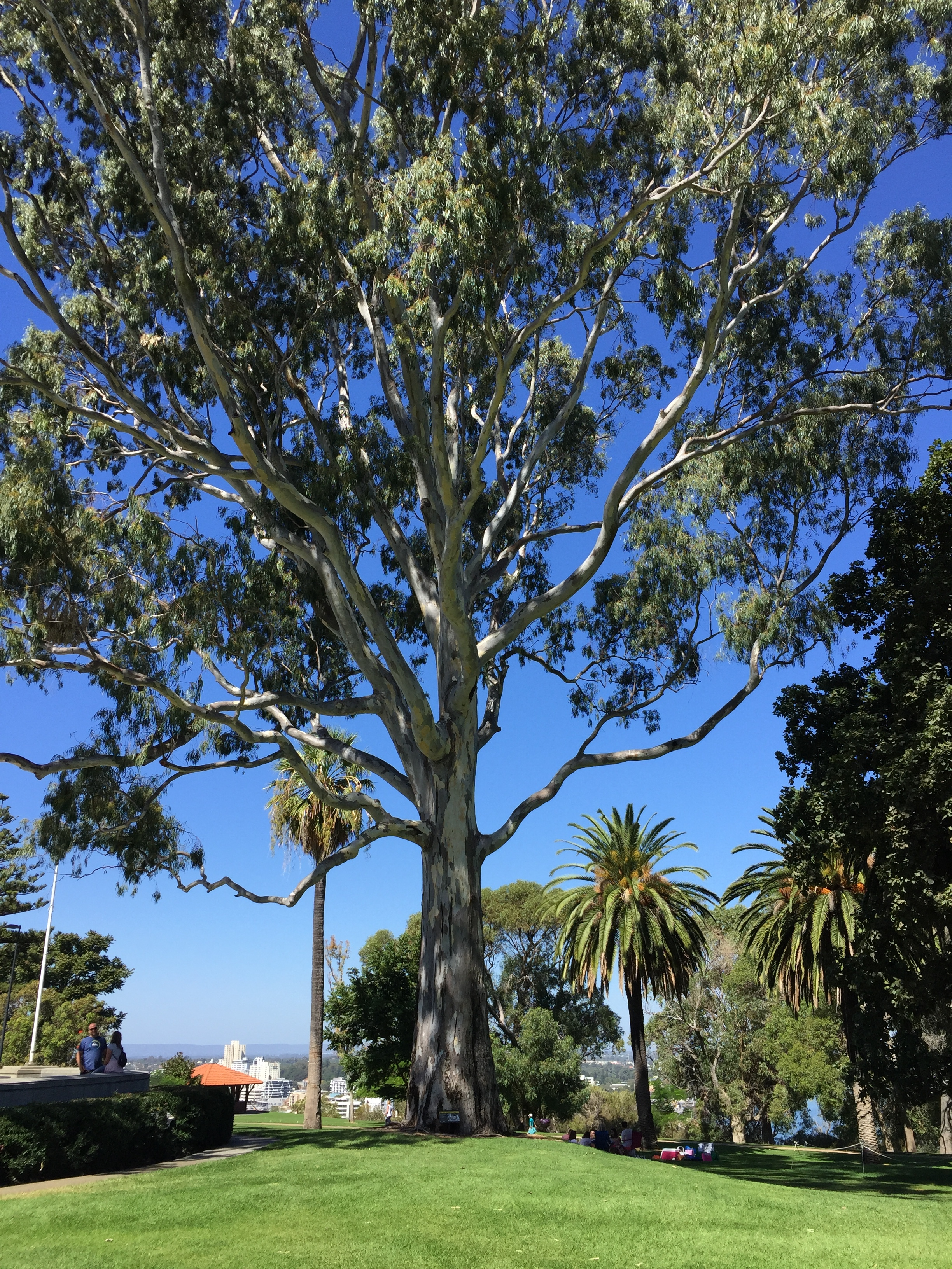 •  Trees like this one in Perth's Kings Park and Botanic Gardens, Western Australia, is an air cooling gift to those who sit beneath it