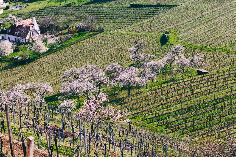Marillenblüte in Spitz an der Donau