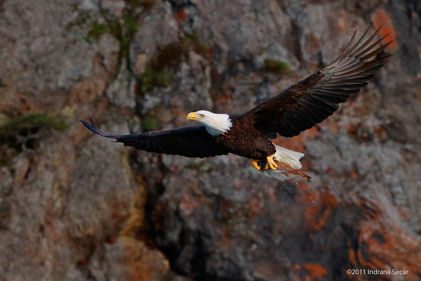 Bald_Eagle_with_fish_rock_bg_7D_59028_Homer_AK.jpg