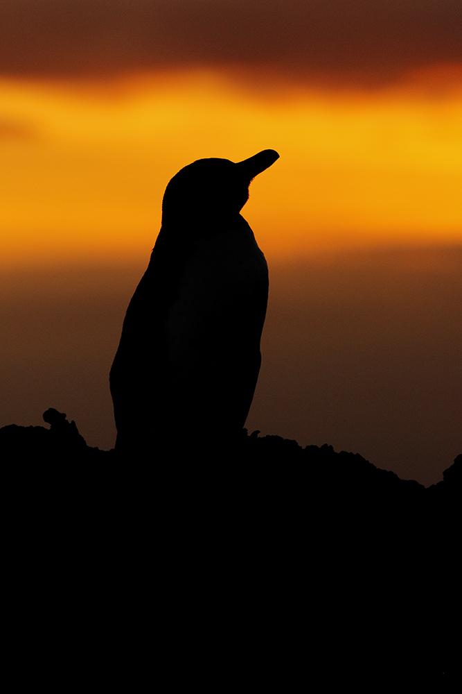 Galápagos Penguin silhouette