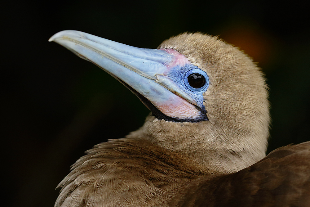 Red-footed Booby in its nest