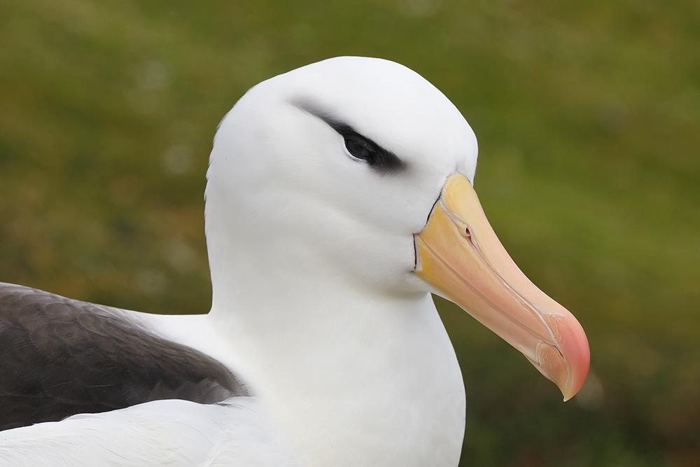 Black-browed Albatross, Saunders Island