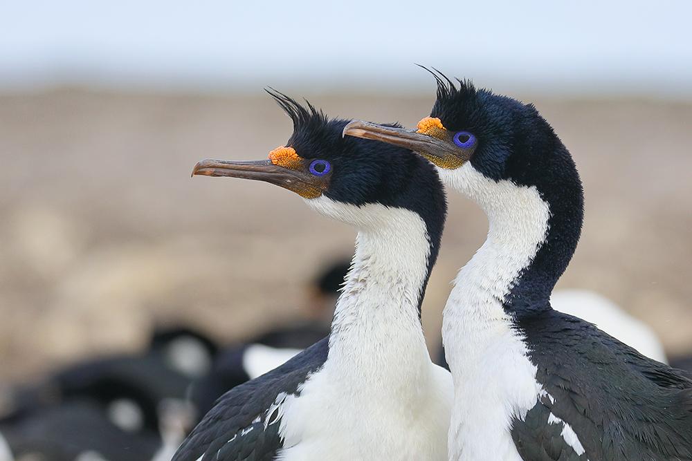 King Shag pair, Bleaker Island