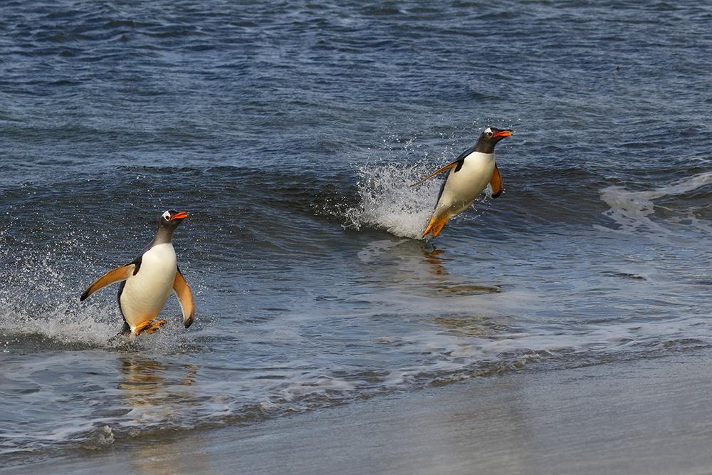 Gentoo Penguin, Sea Lion Island