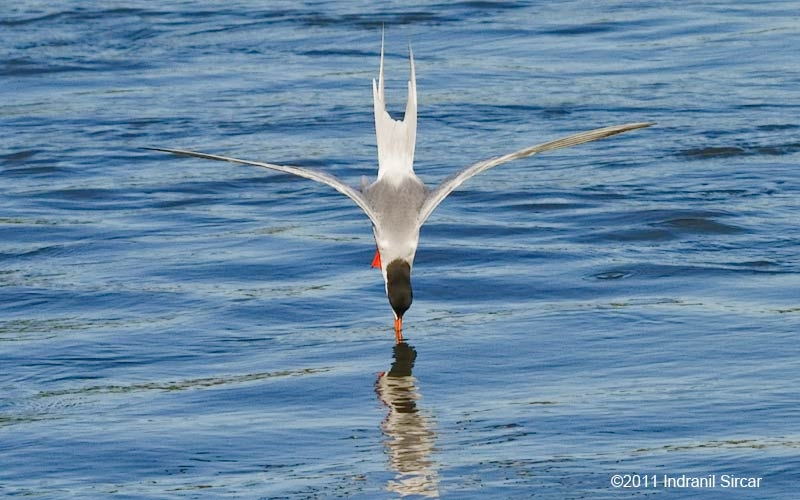 Common Tern, Mountain View, CA