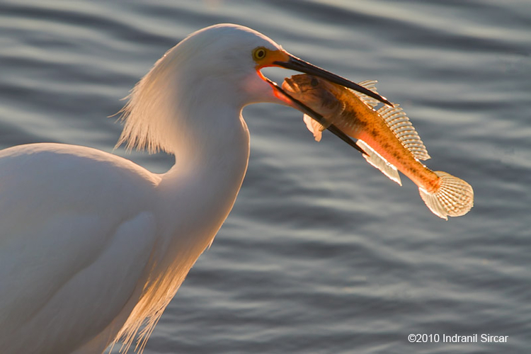 Snowy Egret with Sculpin, Mountain View, CA