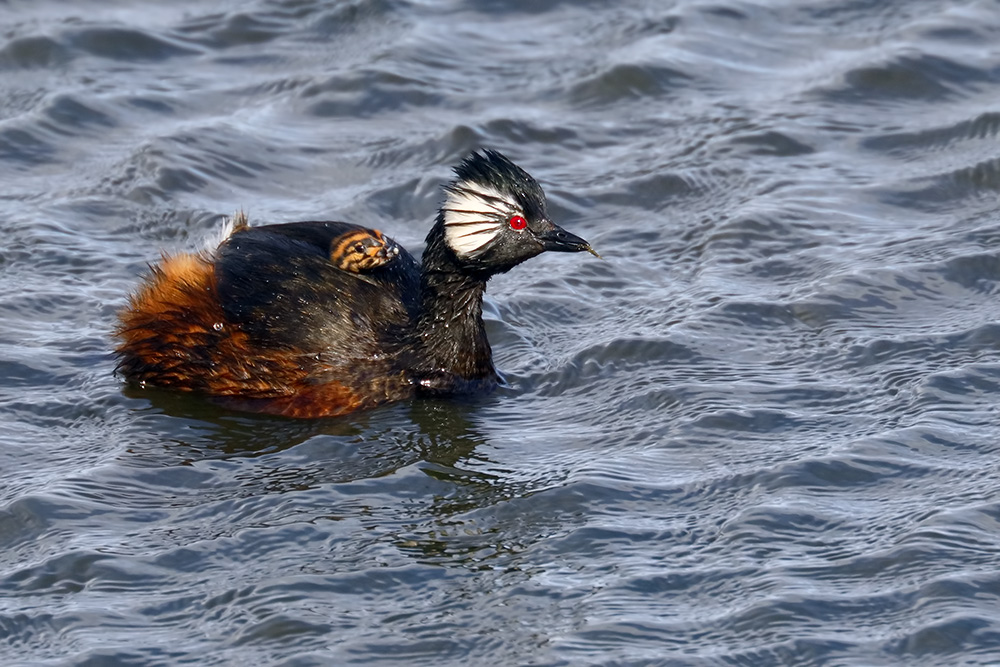 White-tufted Grebe with a chick, Punta Arenas, Chile