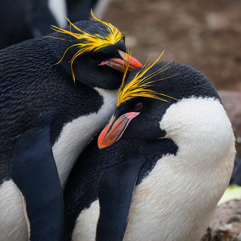 Macaroni Penguin, Saunders Island, Falkland Island