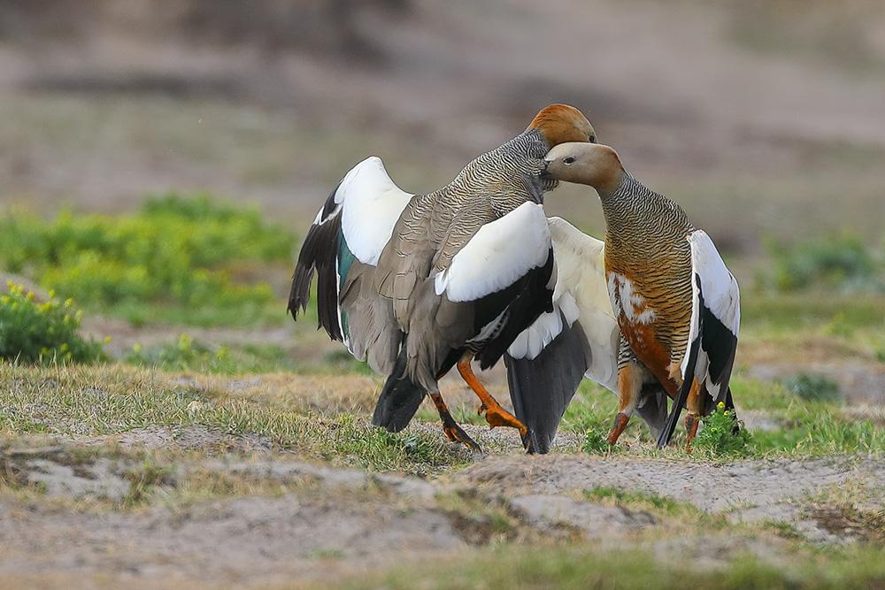 Dueling Upland Goose!