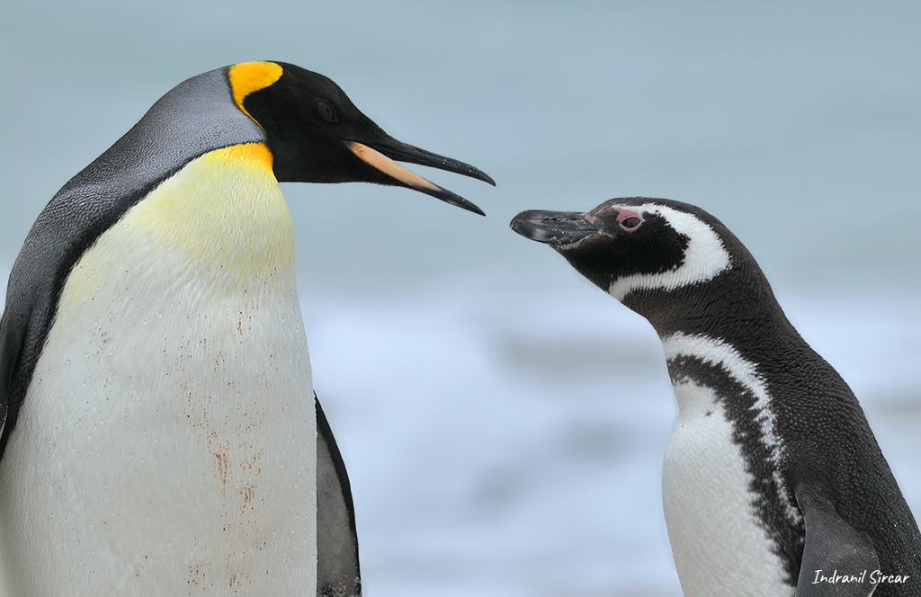 A King and Magallenic Penguin face-off, Bleaker Island, Falkland Island