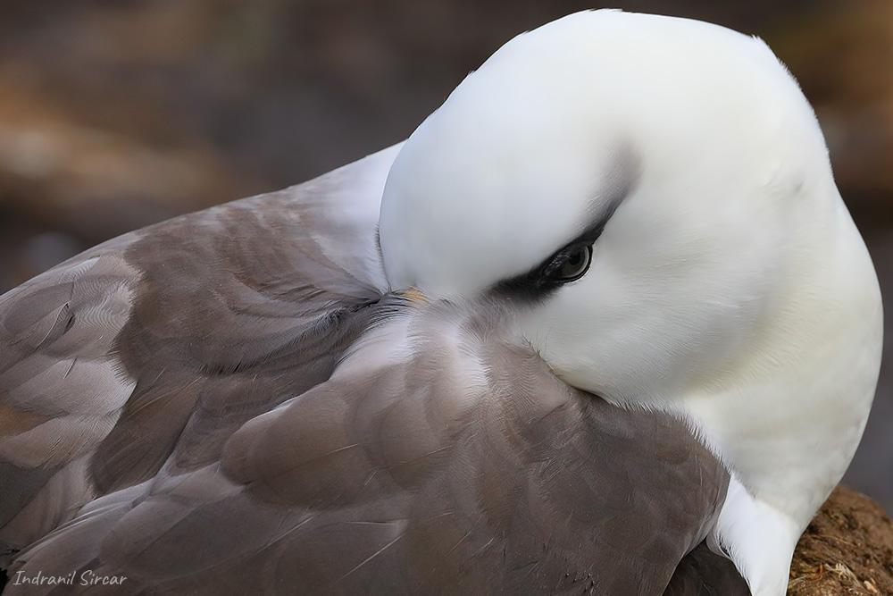 Black-browed Albatross, Saunders Island, Falkland Islands