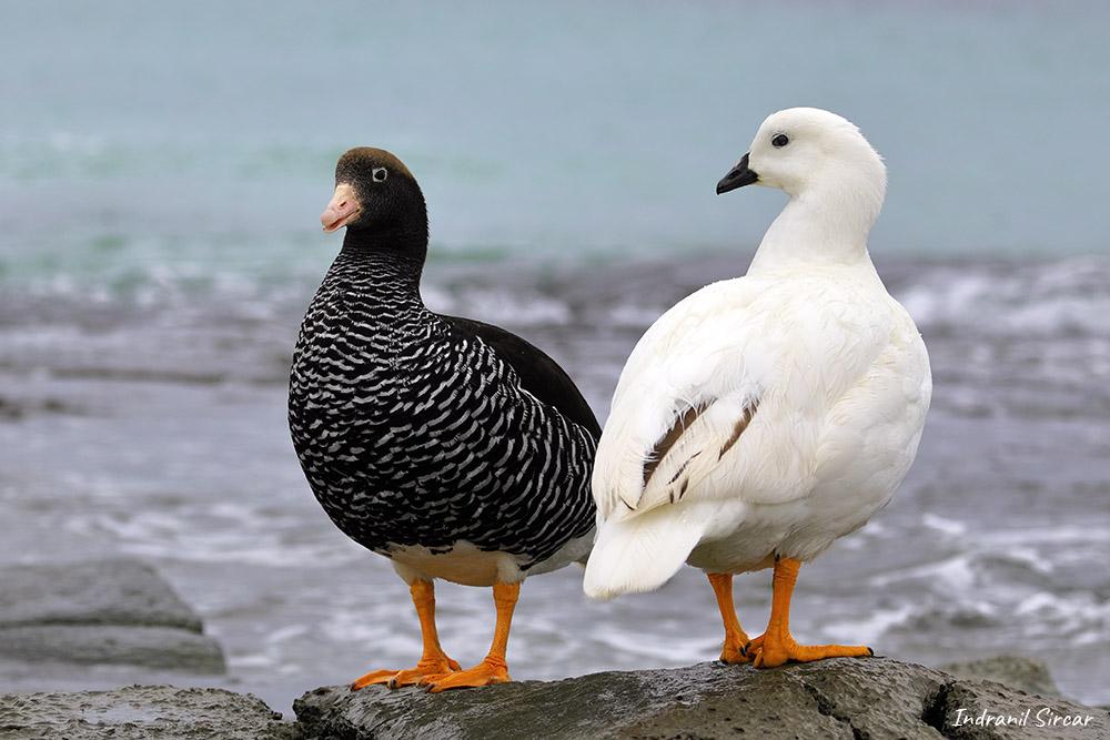 Kelp Goose, Bleaker Island, Falkland Islands
