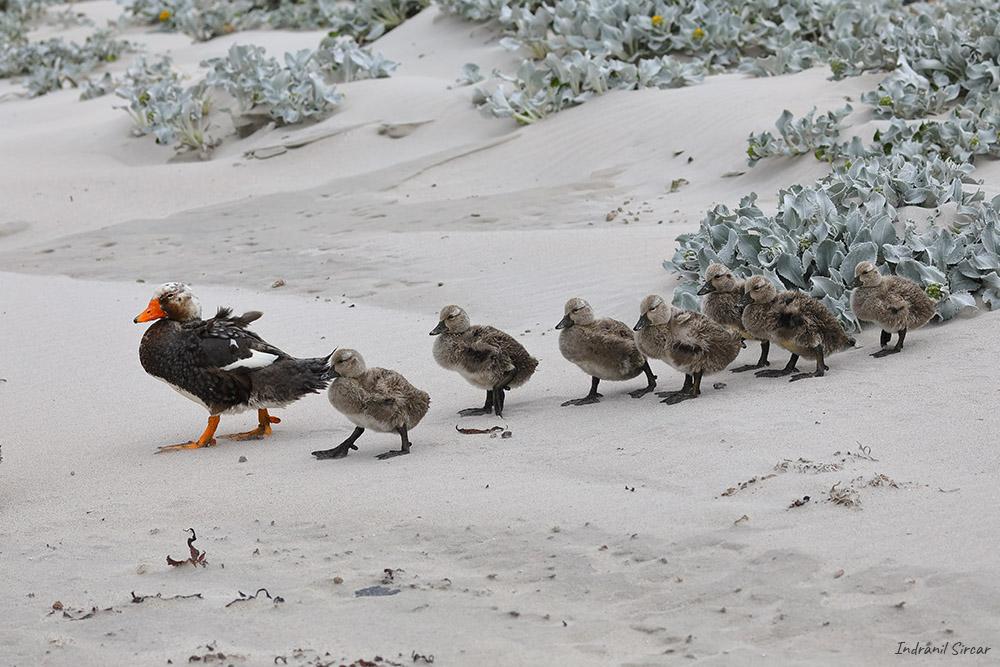 Falkland Steamer Duck, Bleaker Island, Falkland Islands