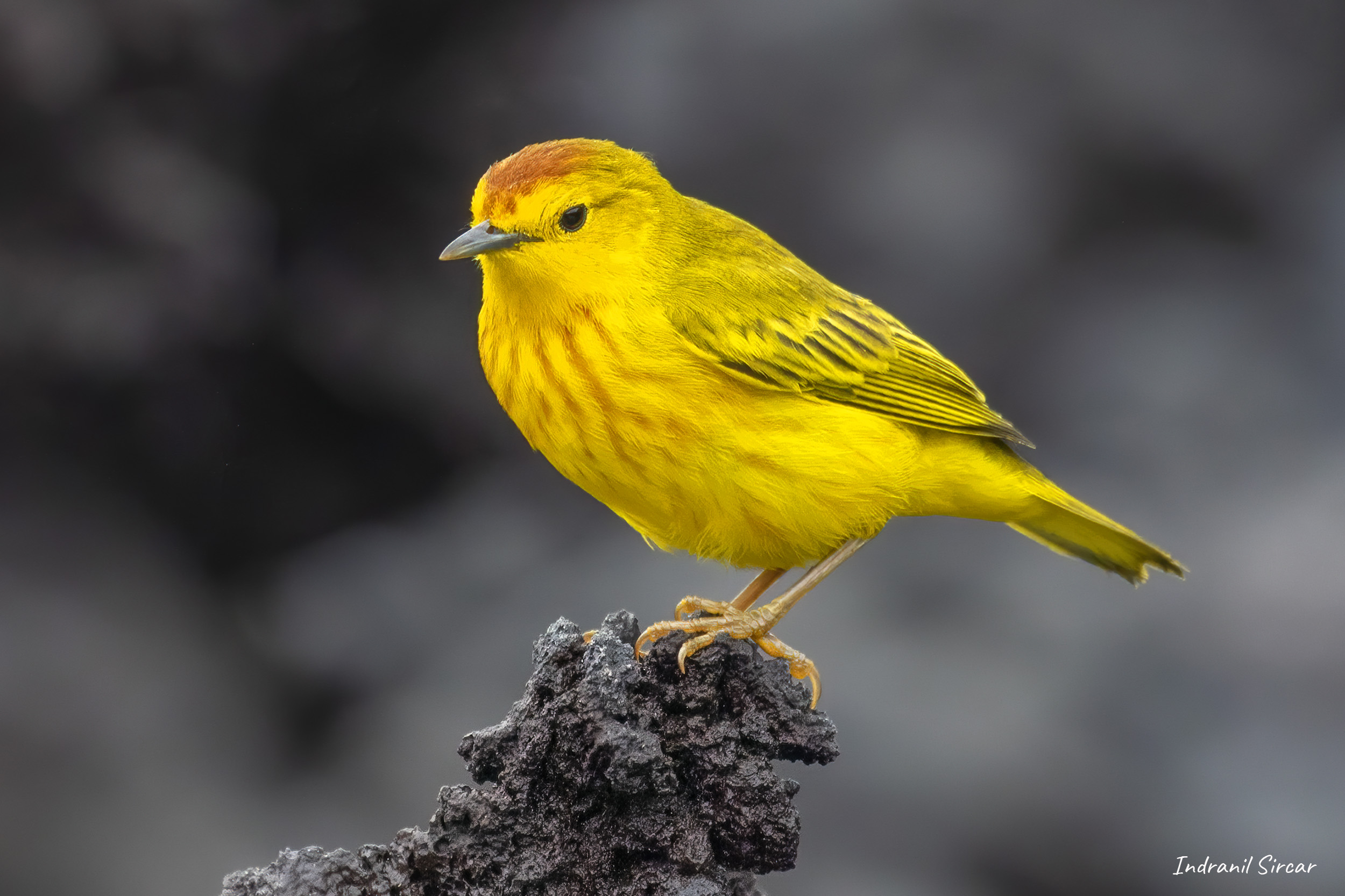 Yellow Warbler (male) perched on a volcanic rock