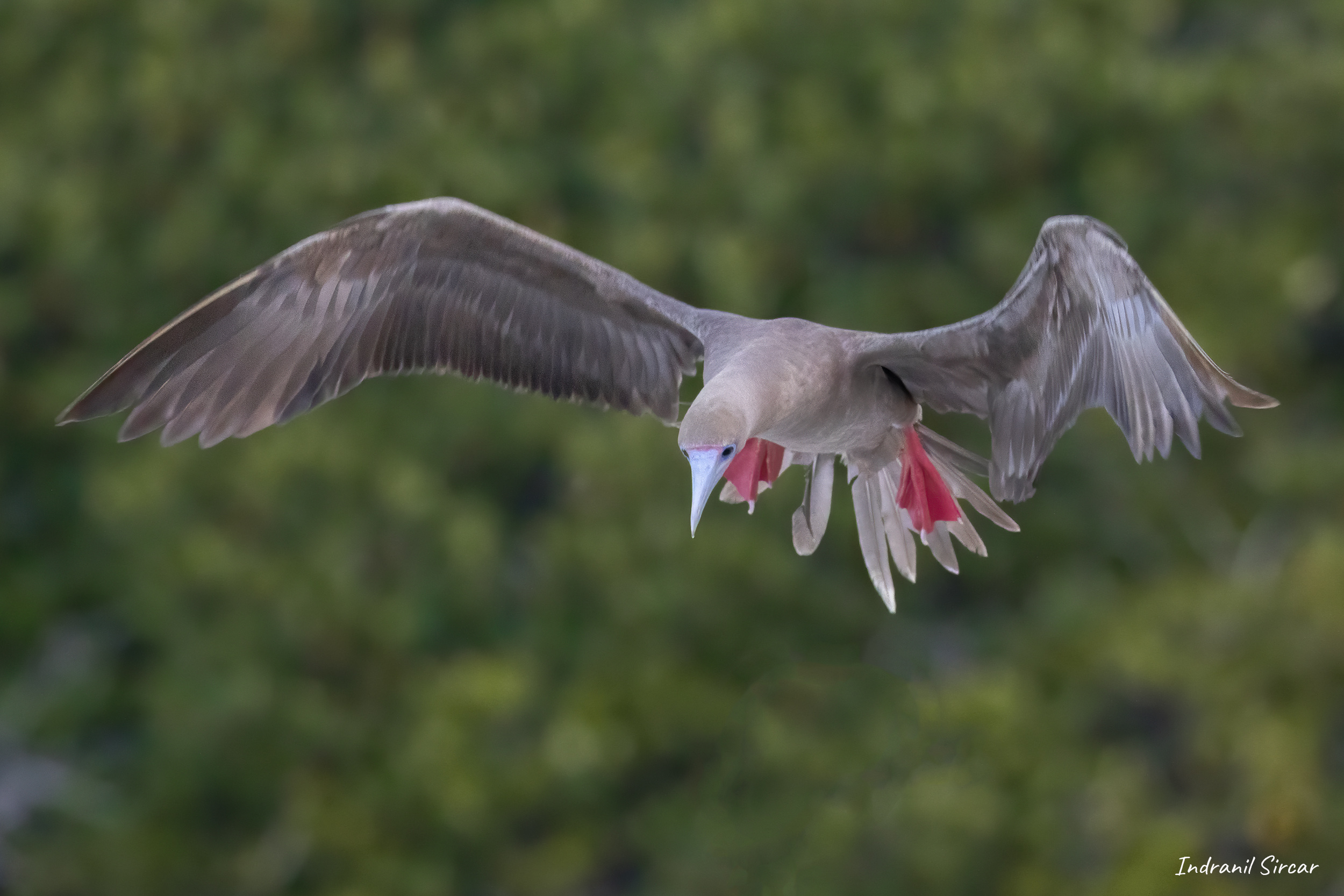 Red-footed Booby Landing