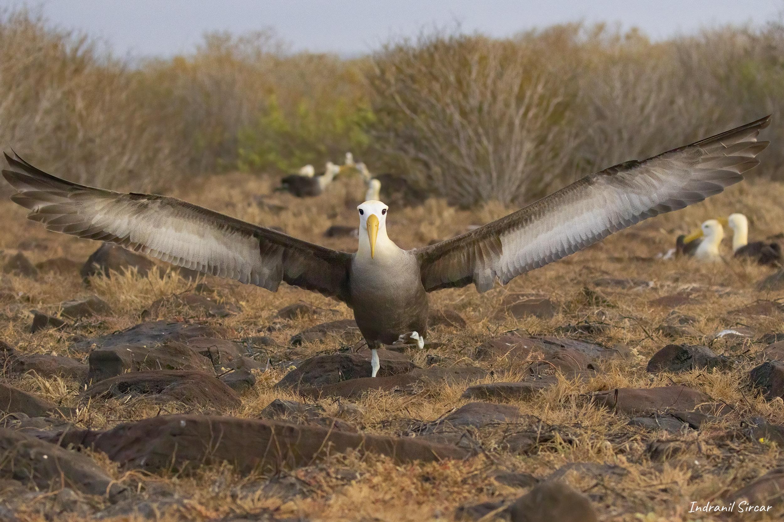 Waved Albatross take-off