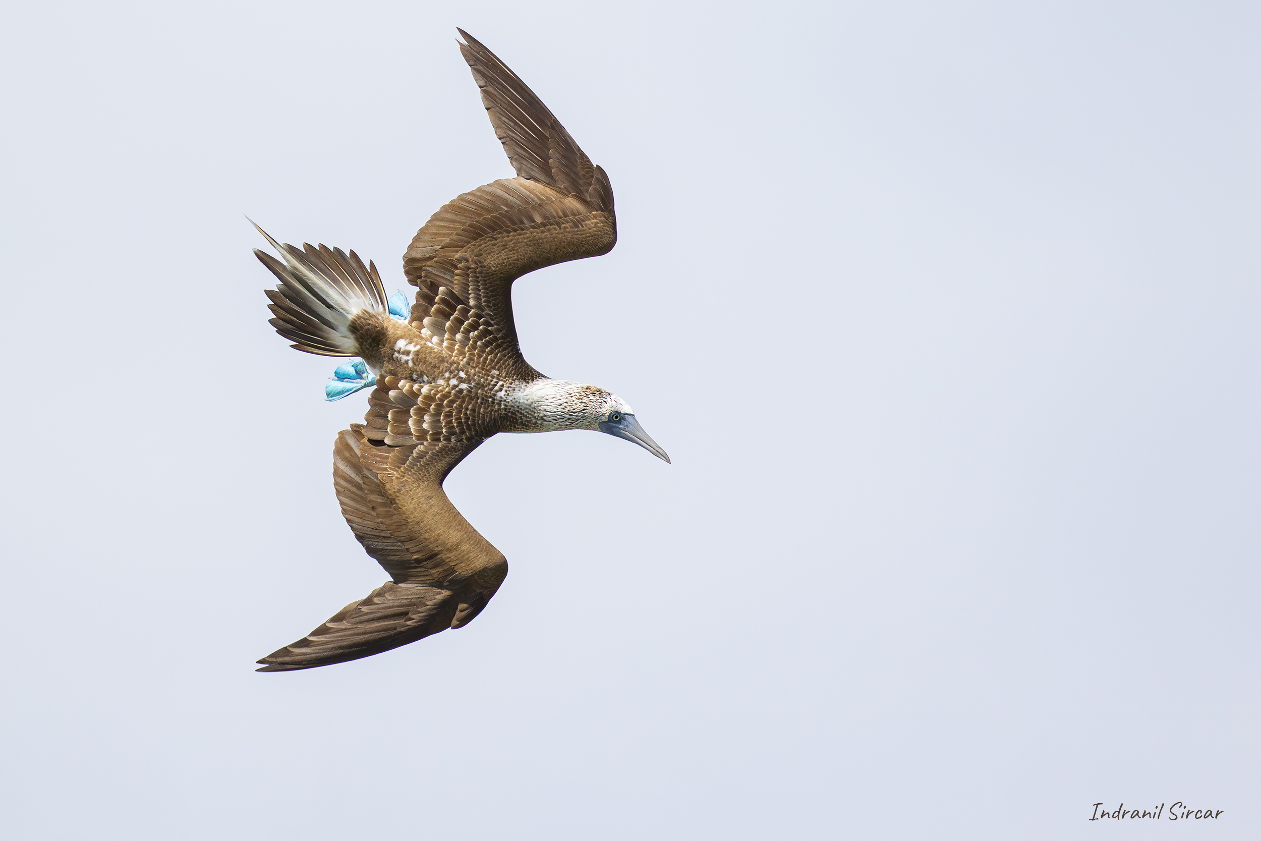 Diving Blue-footed Booby