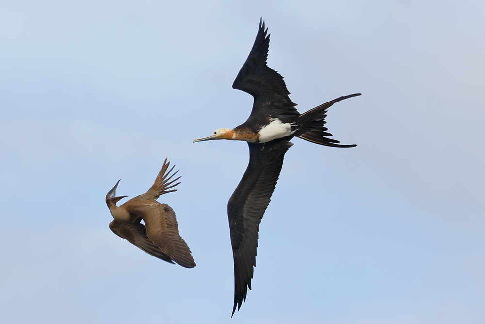 Juvenile Frigatebird chasing Blue-footed Booby