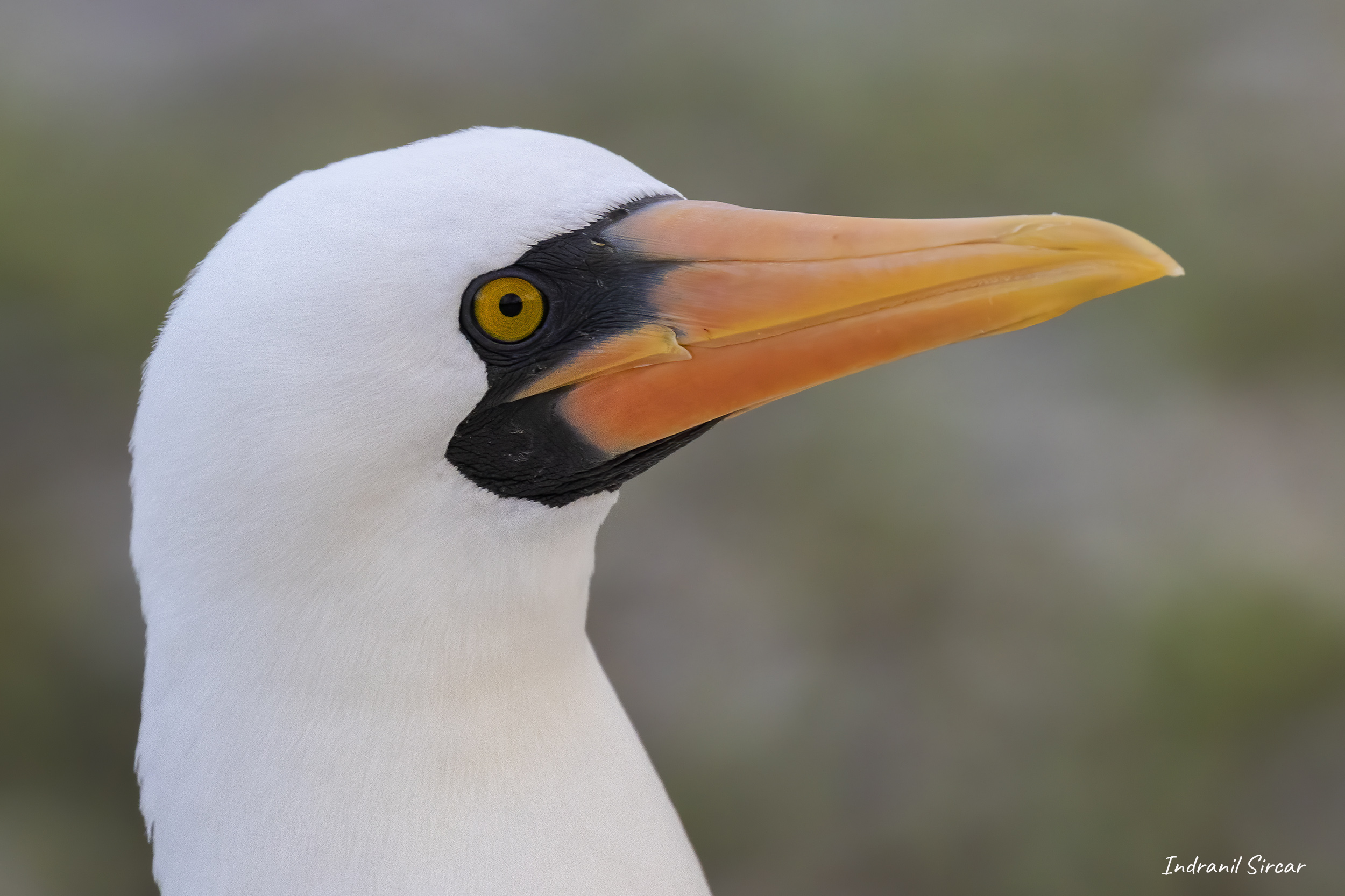 Portrait of a Nazca Booby