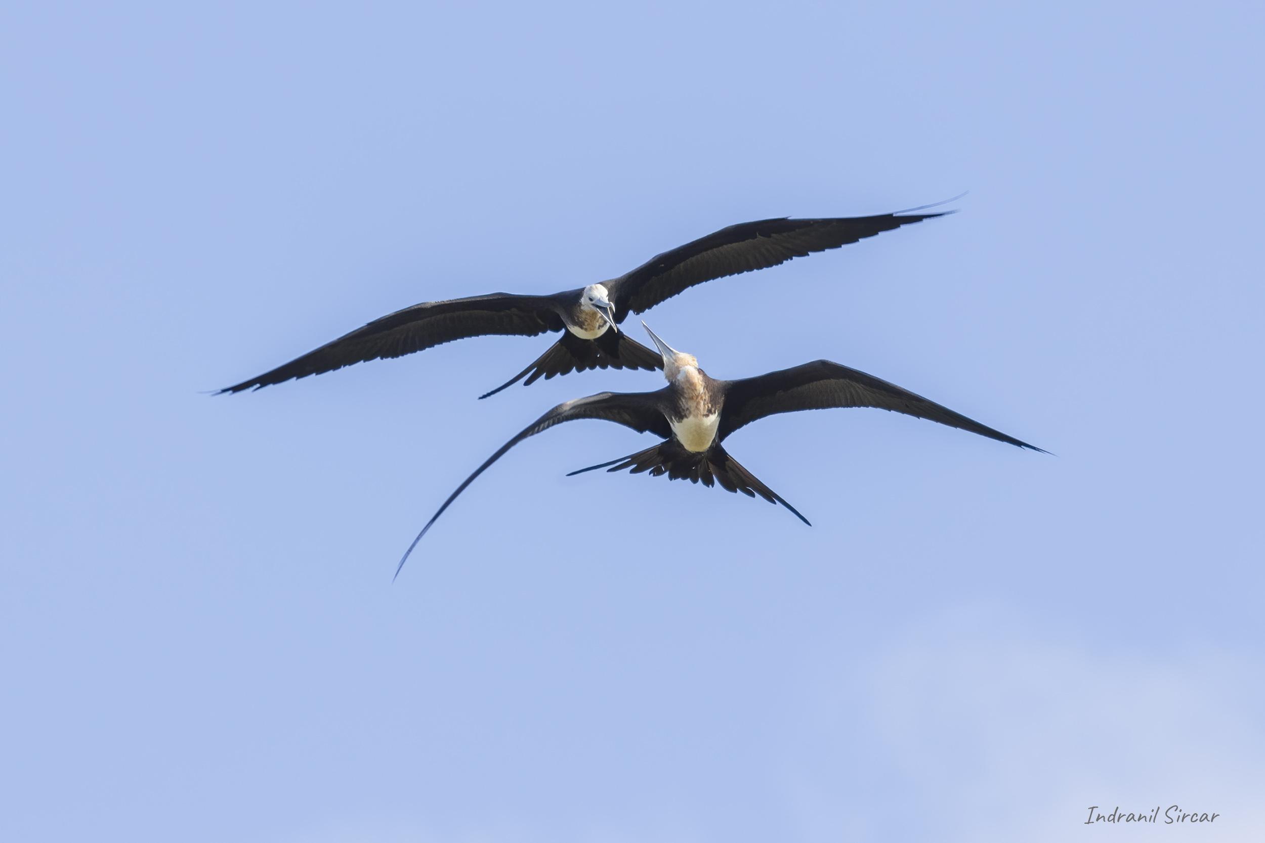 Dueling Frigatebirds