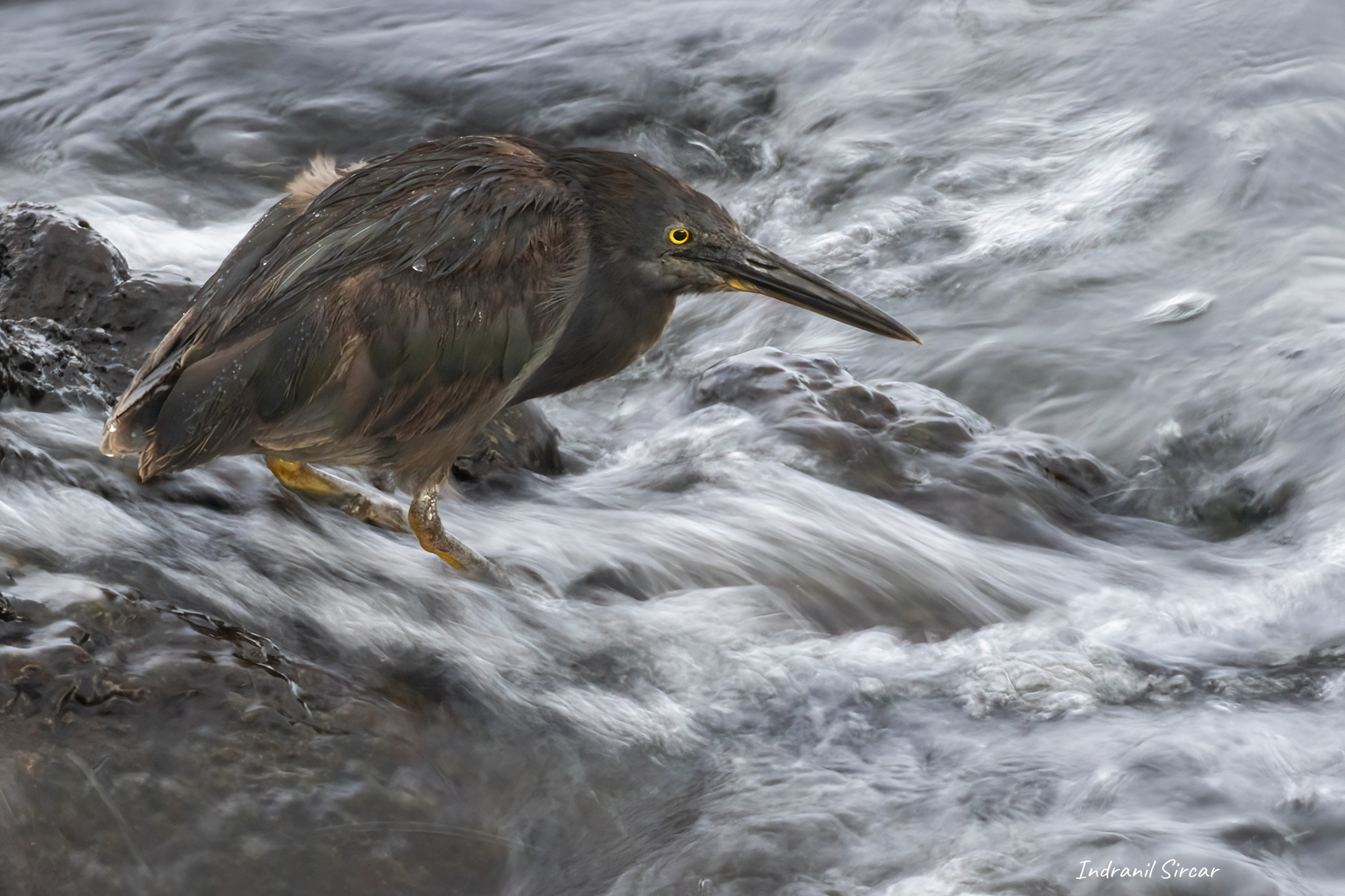 Lava Heron, Puerto Egas, James Bay