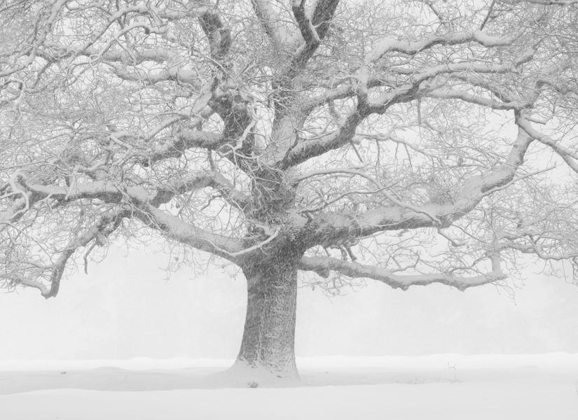 Oak in Snowstorm, Veluwe, The Netherlands